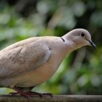 disinfestazione-colombi