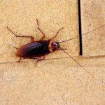 disinfestazione scarafaggi