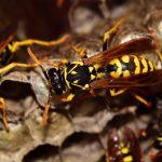 disinfestazione-vespe
