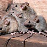 disinfestazione-ratti