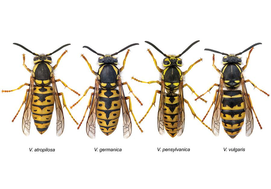 tipi-di-vespe